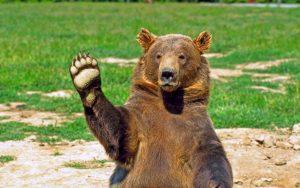 bear-hi-five-desktop-background
